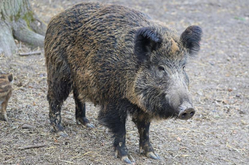 Das Wildschwein: der einzige Feind desLäufers